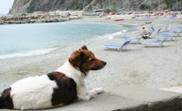 Happy brown and white dog on a beach. Royalty Free Stock Photography