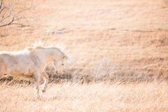 Happy bucking horse. A horizontal profile image of a happy Palomino horse bucking in a grassy pasture at winter time Royalty Free Stock Image