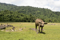 Happy Buffalo in the mud, Buffalo& x27;s instincts. Happy Asia Buffalo in the mud, Buffalo& x27;s instincts Stock Photography