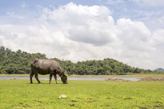 Happy Buffalo in the mud, Buffalo& x27;s instincts Royalty Free Stock Image