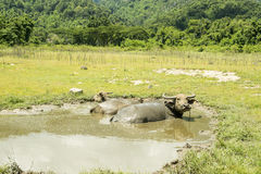 Happy Buffalo in the mud, Buffalo& x27;s instincts Royalty Free Stock Photography