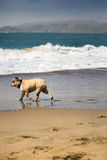 Happy Bull-Dog playing on the beach in California Royalty Free Stock Photo