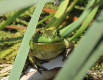 Happy Bull Frog Stock Photography
