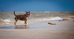 Happy bull terrier dog on the beach Stock Images