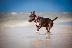 Happy bull terrier dog on the beach Royalty Free Stock Photos