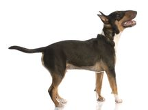 Happy bull terrier puppy Stock Images