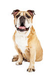 Happy Bulldog Looking Forward Royalty Free Stock Images