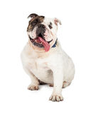 Happy Bulldog With Tongue Out Stock Photography