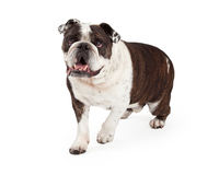 Happy Bulldog Walking Forward Stock Images