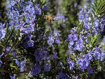 Happy busy honey bee buzzing and searching for nectar hovering above blooming lavender bushes royalty free stock photos