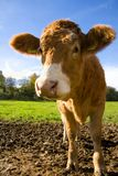 Happy Calf. This calf looks very happy. Taken close up with a wide angle lens for distortion effect Stock Photos