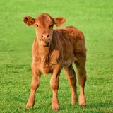 Happy calf on a meadow Royalty Free Stock Photography