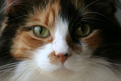 Happy Calico Cat. Close up of Content Calico Cat staring at camera with green eyes stock image