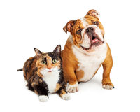 Happy Calico Cat and Dog Together. Happy and smiling calico cat and Bulldog breed dog sitting together over white stock images