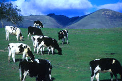 Happy California cows!. Dairy cows in green pasture with blue sky, California cows stock photo