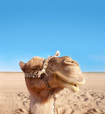 Happy camel. Closeup of happy camel face in desert Royalty Free Stock Photography