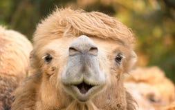 Happy camel Stock Image