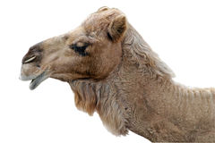Happy Camel Isolated Royalty Free Stock Image