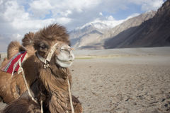 Happy camel is smiling for his portrait photo. stock images