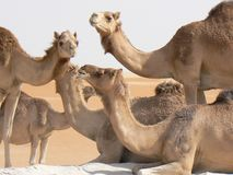 Happy Camels Royalty Free Stock Image