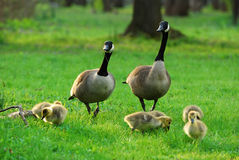 Happy Canadian Goose family Royalty Free Stock Photos