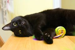 Happy cat. Happy black cat, laying on a light wooden table as he plays with a yellow toy Royalty Free Stock Images