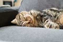 Happy cat american short hair sleep on couch Royalty Free Stock Image
