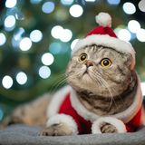 Tabby and the happy cat. Christmas season 2018, new year, holidays and holidays royalty free stock photography