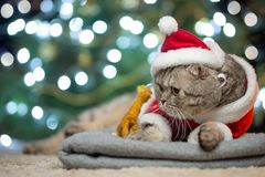 Tabby and the happy cat. Christmas season 2018, new year, holidays and holidays stock images