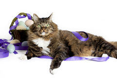 Happy Cat with Easter Basket. Maine Coon mix breed tabby cat with happy expression and Easter basket blurred in background royalty free stock photos