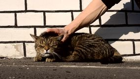Happy cat feels pleasure while being stroked man Stock Photography