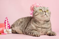 Happy cat or kitty in a festive cap and cupcake celebrates birthday royalty free stock photography