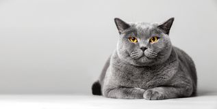 Happy cat laying on the floor. Domestic animal, British shorthair cat stock photo