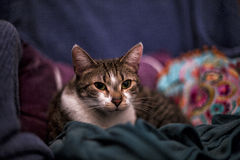 Happy cat. Lying in colorful sofa Royalty Free Stock Photos