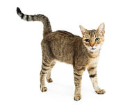 Happy Cat Standing on White. Happy friendly tabby cat with smile standing on white studio background Royalty Free Stock Photos