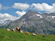 Happy cattle in the Alps Royalty Free Stock Photos