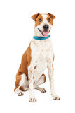 Happy Cattle Dog Cross Stock Photography
