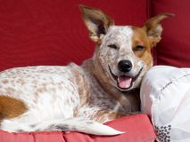 Happy Cattle Dog. Young Australian Cattle Dog relaxing on the couch stock image
