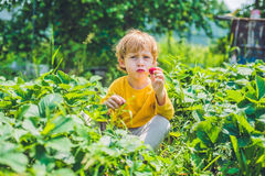 Happy caucasian little boy picking and eating strawberries on be. Rry farm in summer Royalty Free Stock Photos