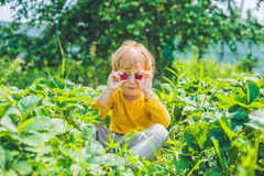 Happy caucasian little boy picking and eating strawberries on be. Rry farm in summer Stock Photography