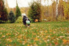 Happy cavalier king charles spaniel dog playing with toy ball. In autumn garden royalty free stock photography