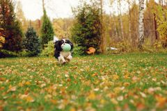 Happy cavalier king charles spaniel dog playing with toy ball Royalty Free Stock Photos