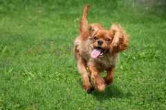 Happy cavalier king charles spaniel puppy running stock images