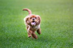 Happy cavalier king charles spaniel puppy running royalty free stock photos
