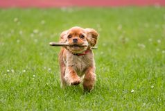 happy Cavalier King Charles Spaniel running with a stick royalty free stock images