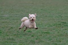 Cavapoo dog running. A happy Cavapoo dog running in a muddy field royalty free stock photography