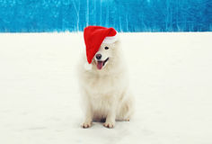 Happy cheerful white Samoyed dog wearing a red santa hat on snow in winter Stock Photos