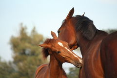 Happy chestnut foal and his mother Royalty Free Stock Photo