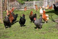 Happy chickens on a farm Royalty Free Stock Images