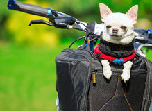 Happy chihuahua in bicycle basket Stock Image
